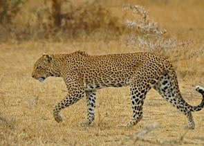 Leopard in the Selous Game Reserve
